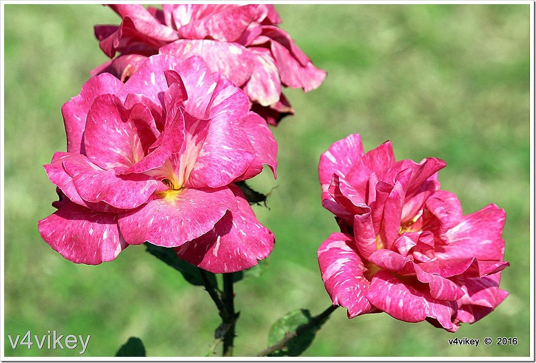 Pink Candy Stripe Hybrid Tea Rose Flowers