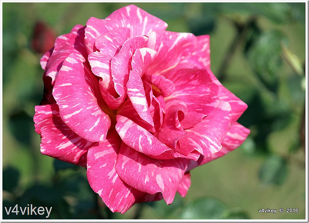 Pink Candy Stripe Rose