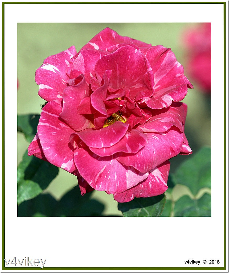 Pink Candy Stripe Rose Flower