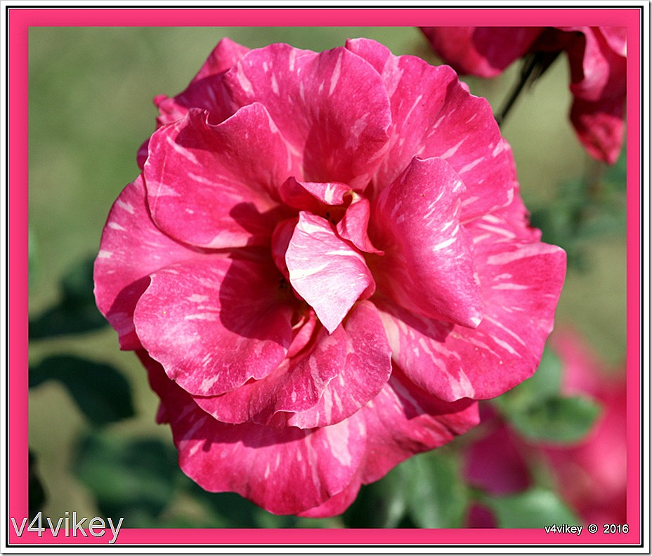 Pink Candy Stripe Rose Photograph