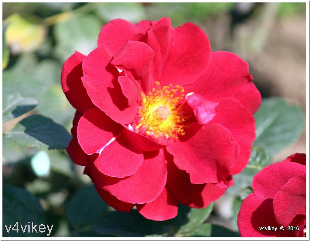 Preference Red Floribunda Rose
