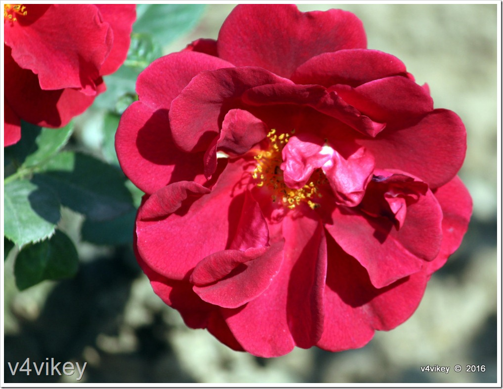 Preference Red Rose