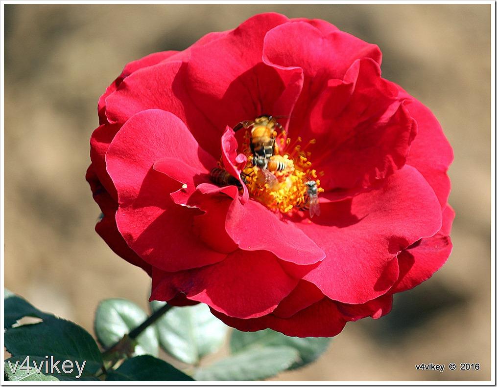 Preference Red Rose Flower