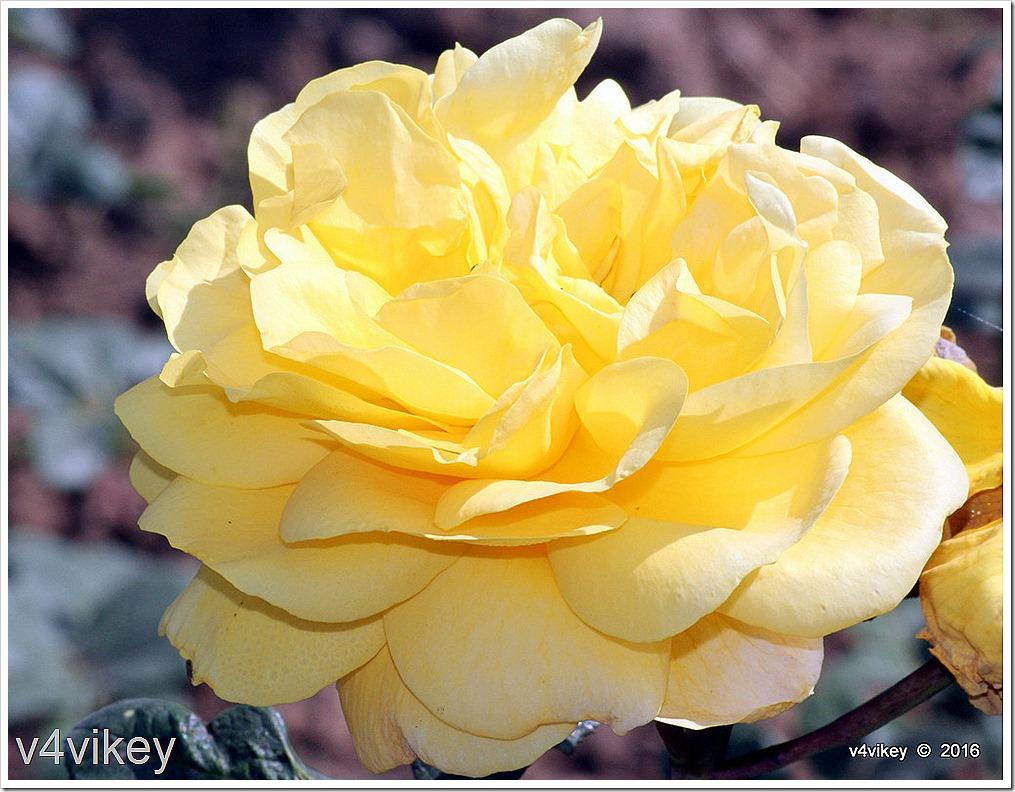 Sunshine Daydream Rose Flower