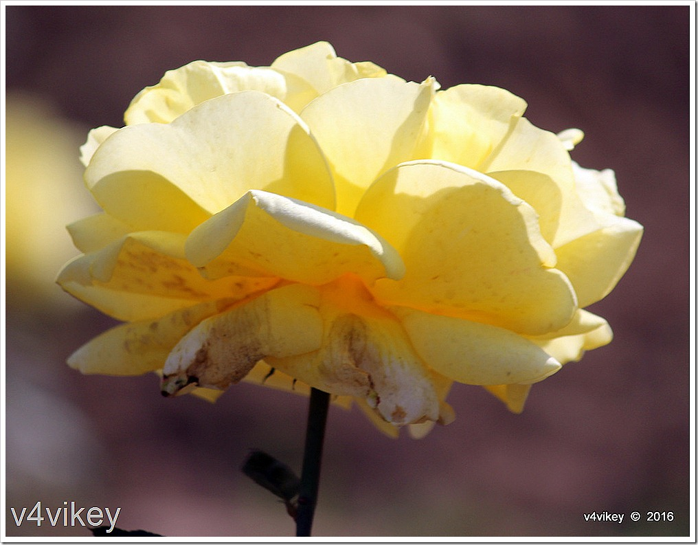 Sunshine Daydream Rose Flower Image
