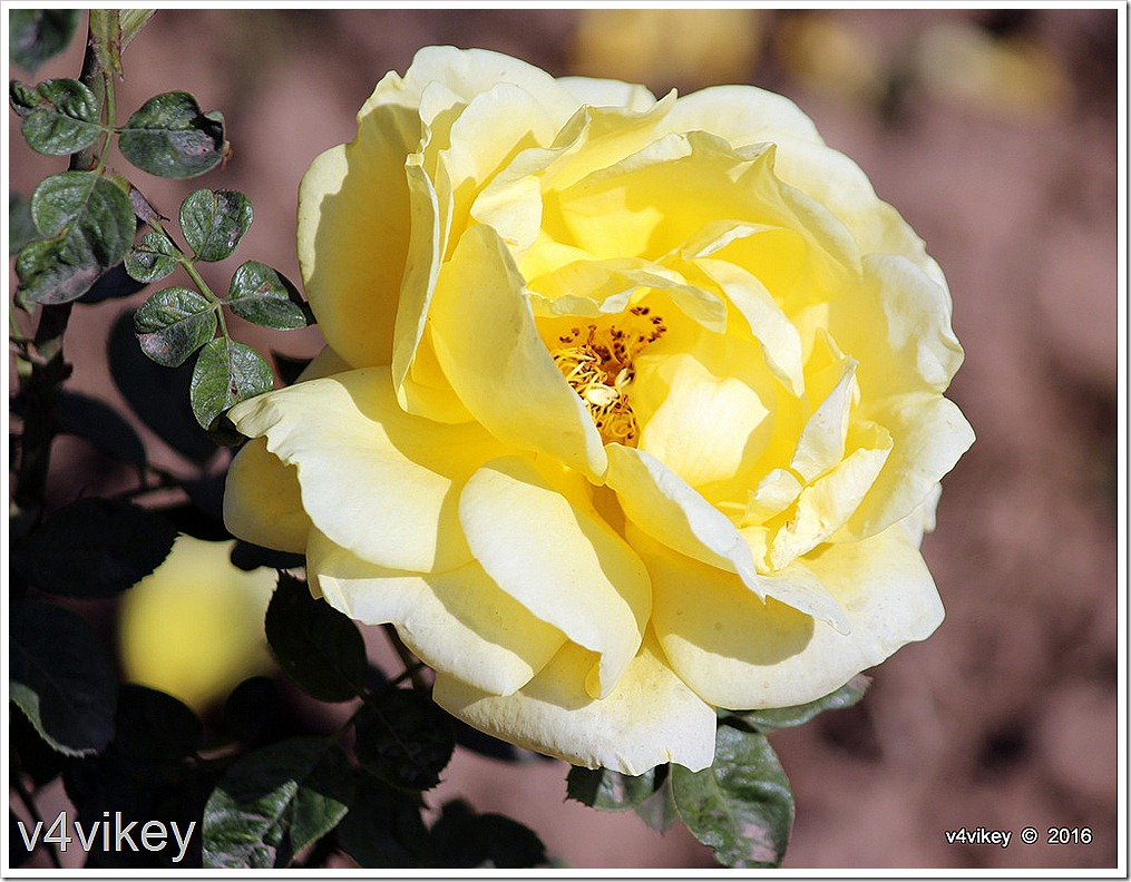 Sunshine Daydream Rose Flower Photo