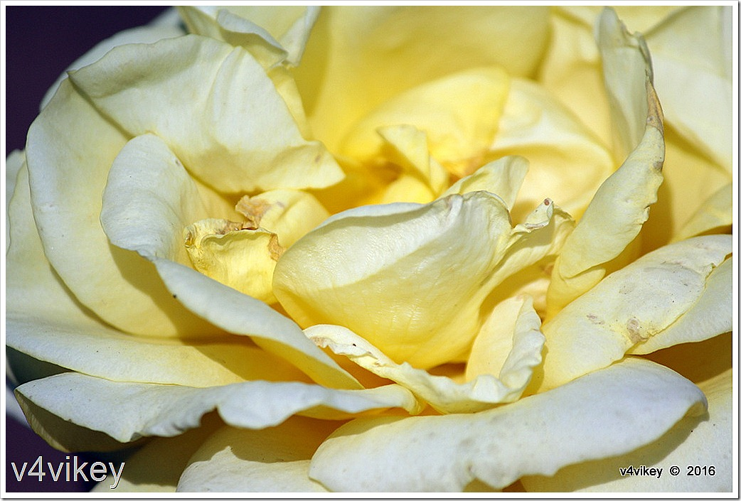 Sunshine Daydream Rose Flower Wallpaper