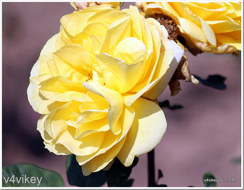Sunshine Daydream Roses