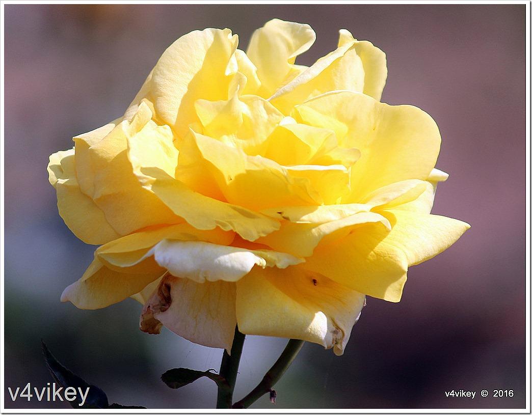 Sunshine Daydream Yellow Rose