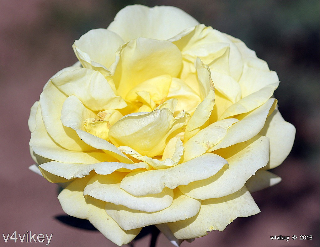Roses With Name Sunshine Daydream Yellow Rose Flower Wallpaper Tadka