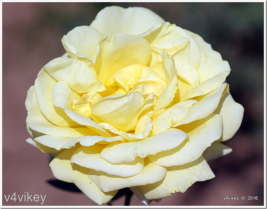 Sunshine Daydream Yellow Rose Flower Wallpaper