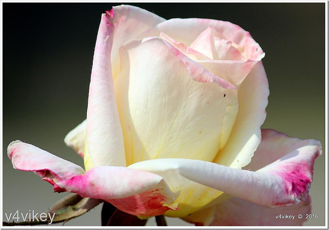 White Eden Climbing Rose Flower Wallpaper