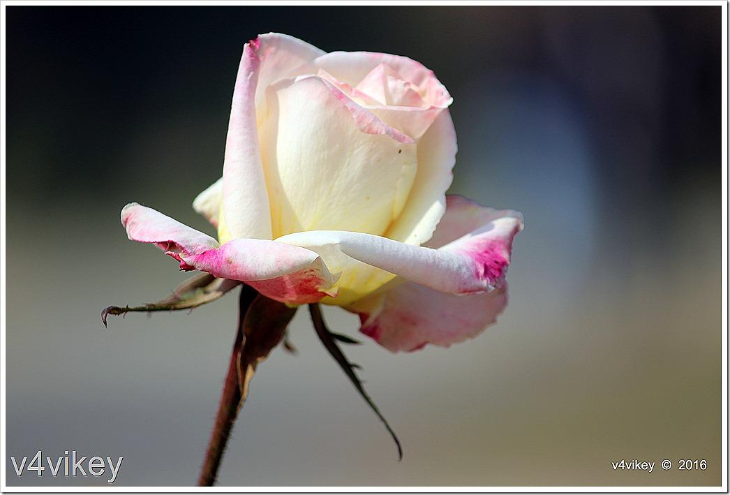 White Eden Climbing Rose Image