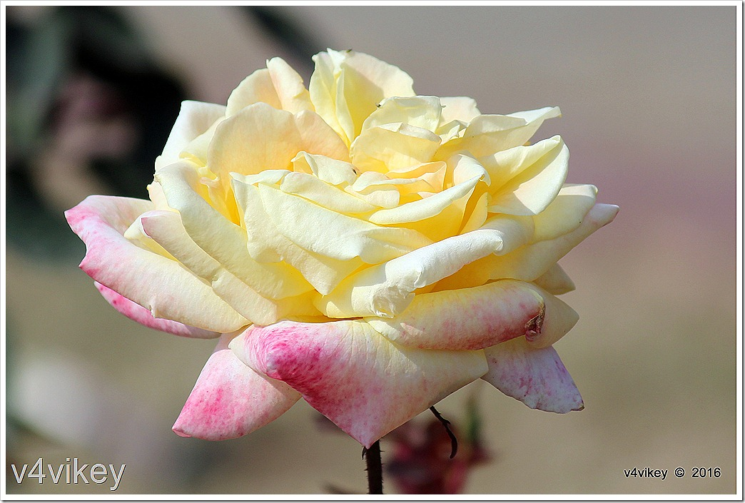 White Eden Climbing Rose Photo