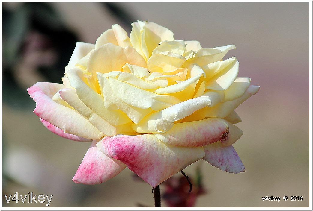 White Eden Climbing Rose Photo