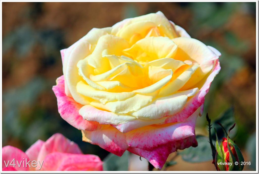 White Eden Rose