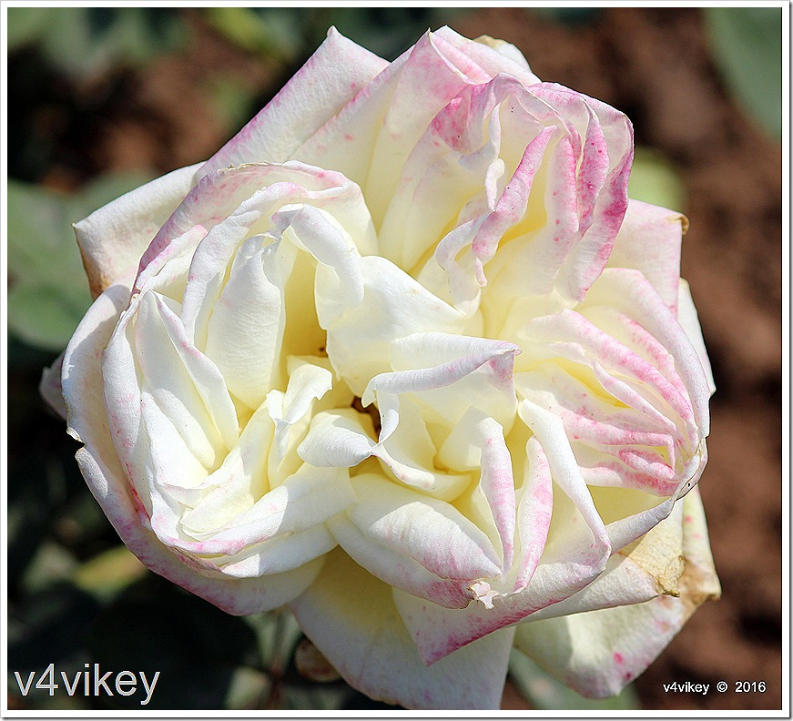 White Eden Rose Climbing Rose Wallpaper