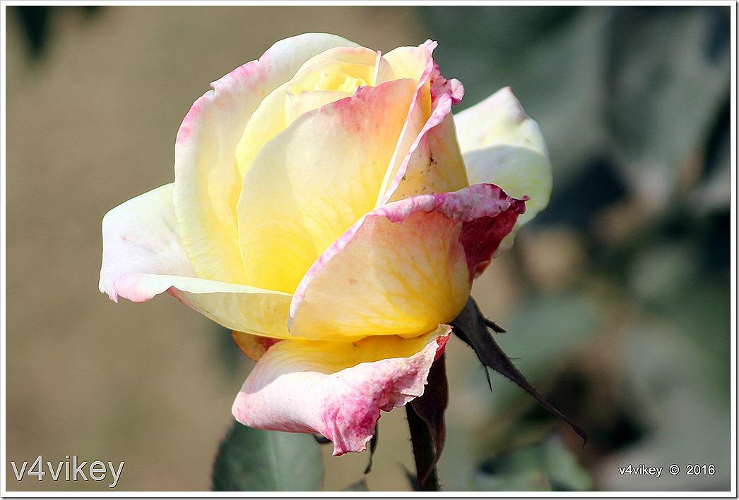 White Eden Rose Image
