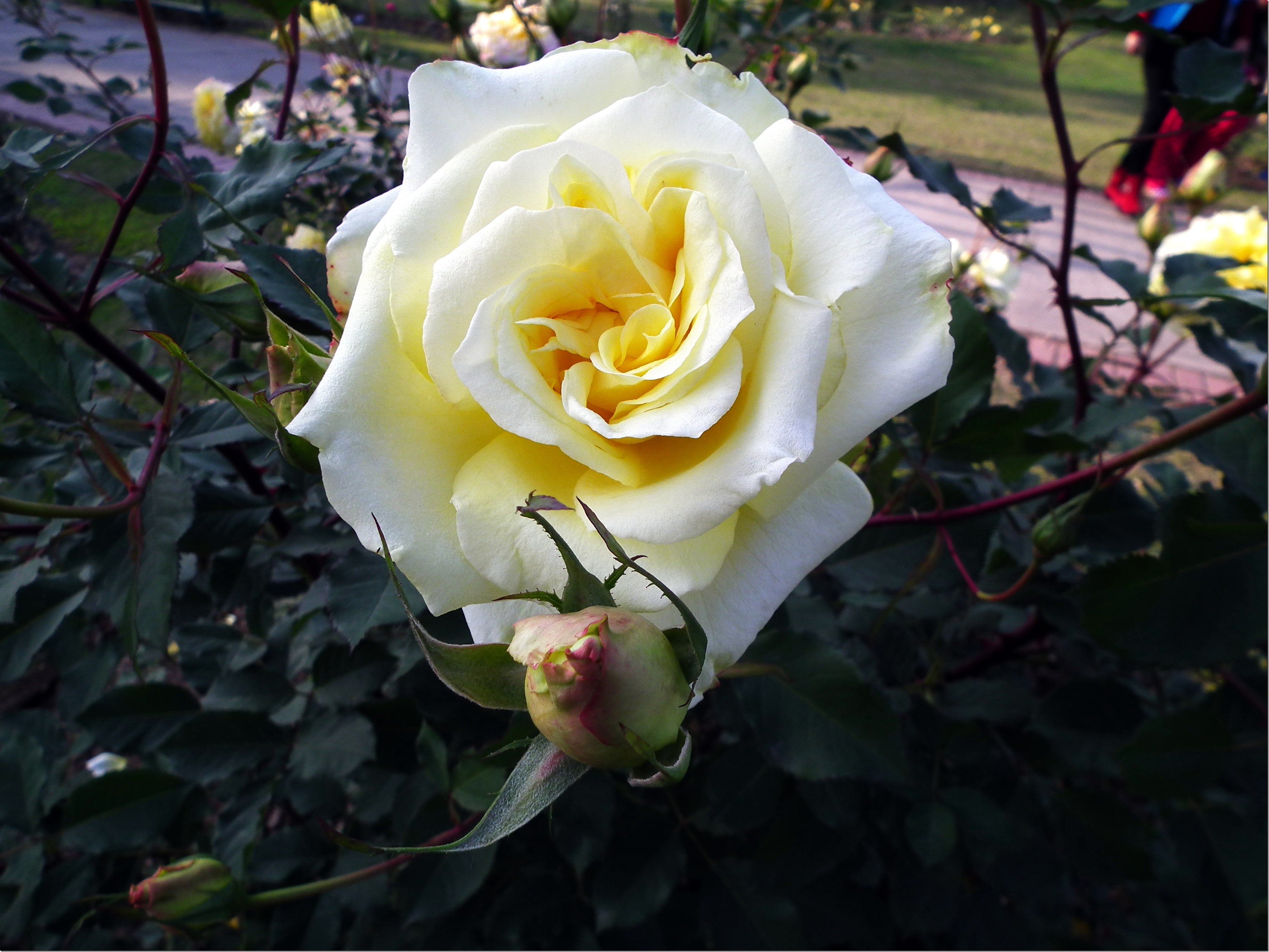 Yellow White Rose Flower with bud