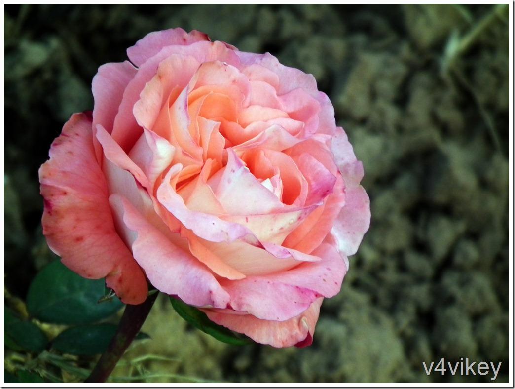 Abraham Darby Rose Flower