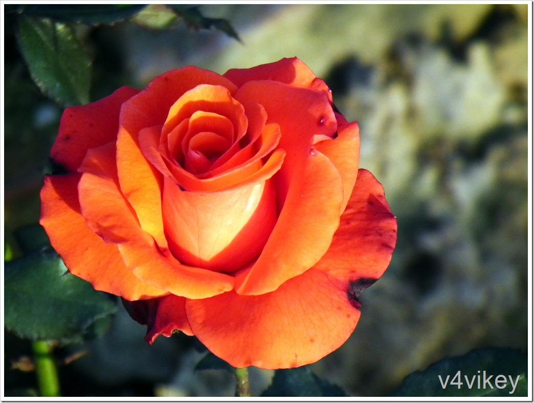 Milva Orange Rose Flower