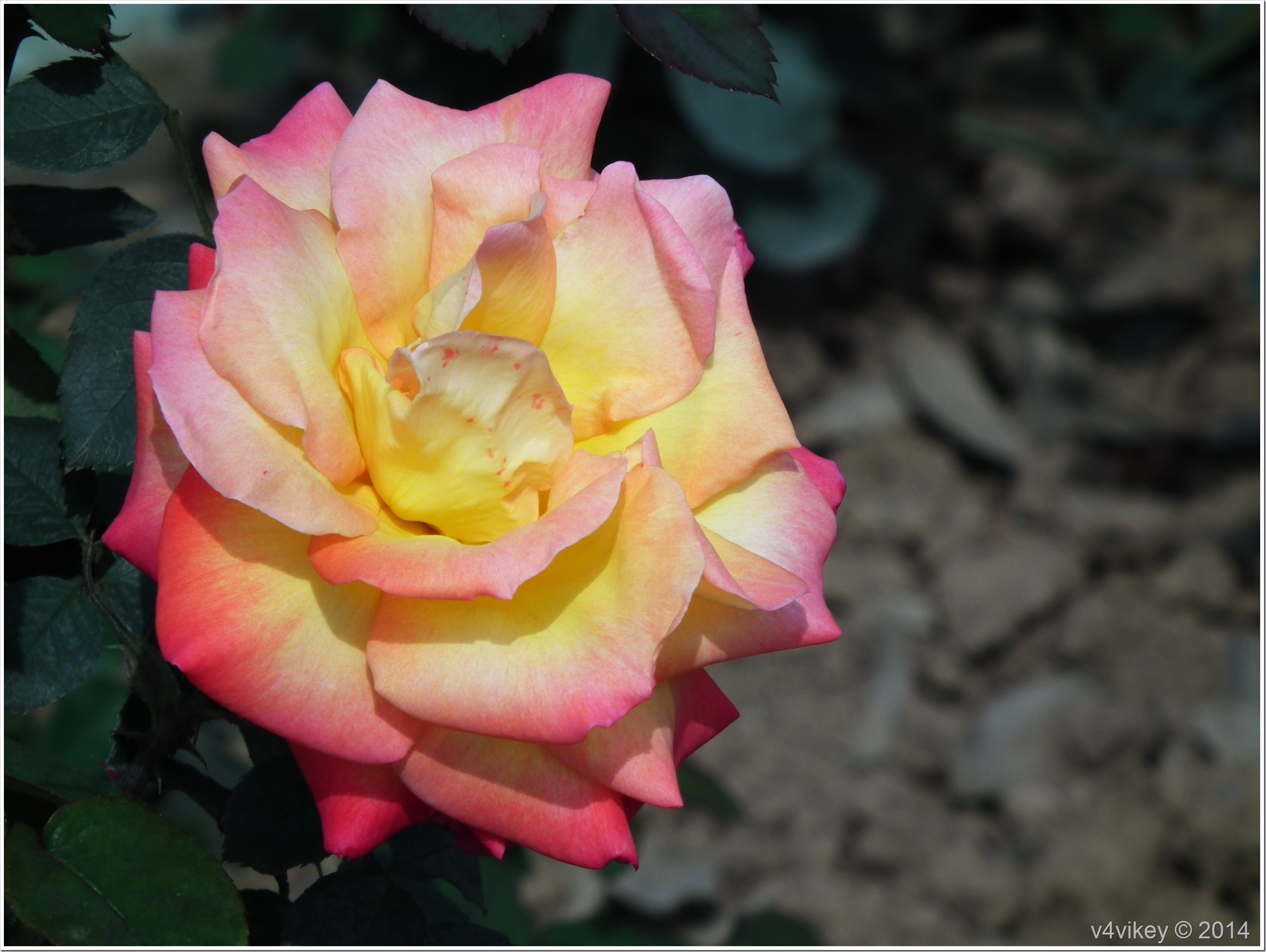 Yellow Shaded Pink Flower