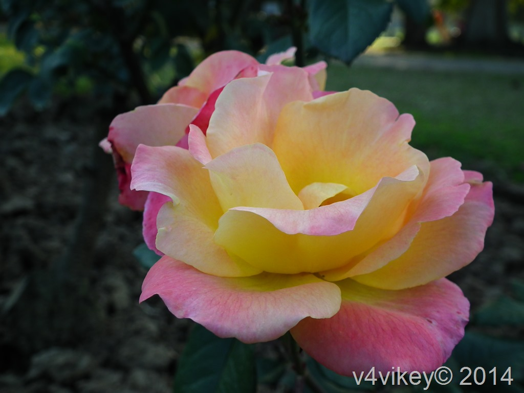 Yellow Pink Rose Flower Wallpaper