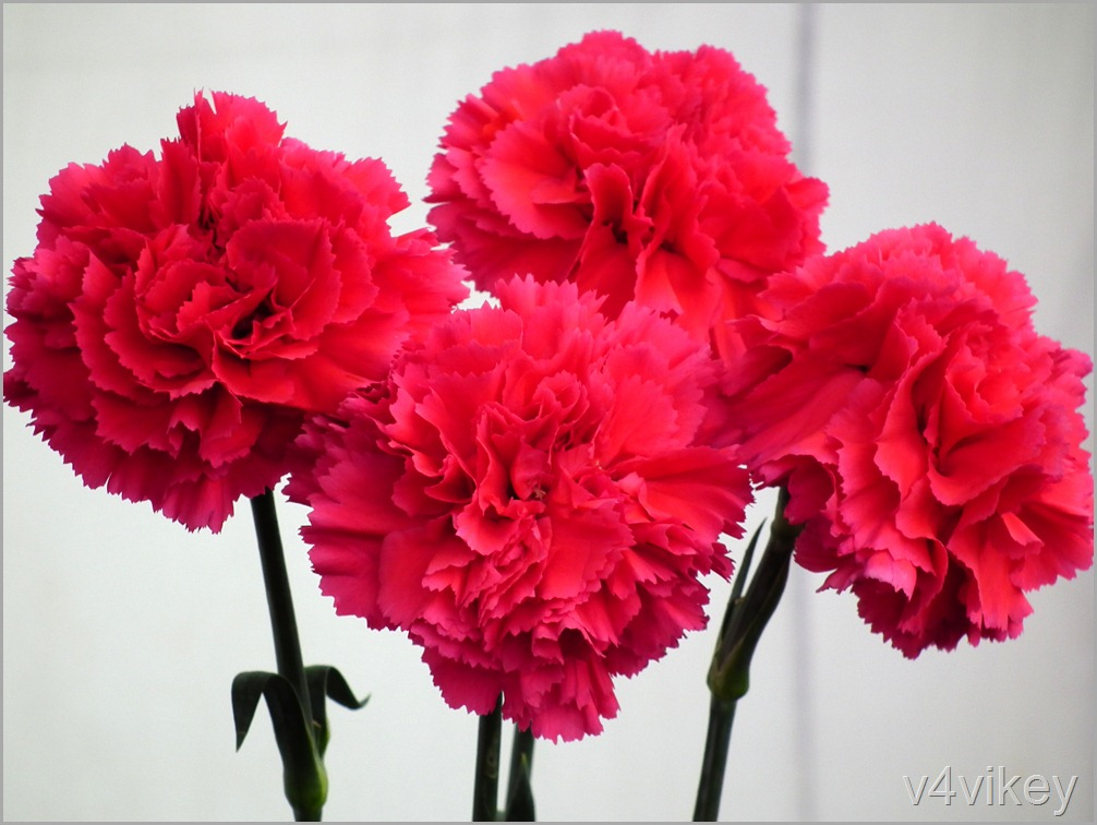 Red Carnation Flower Wallpaper