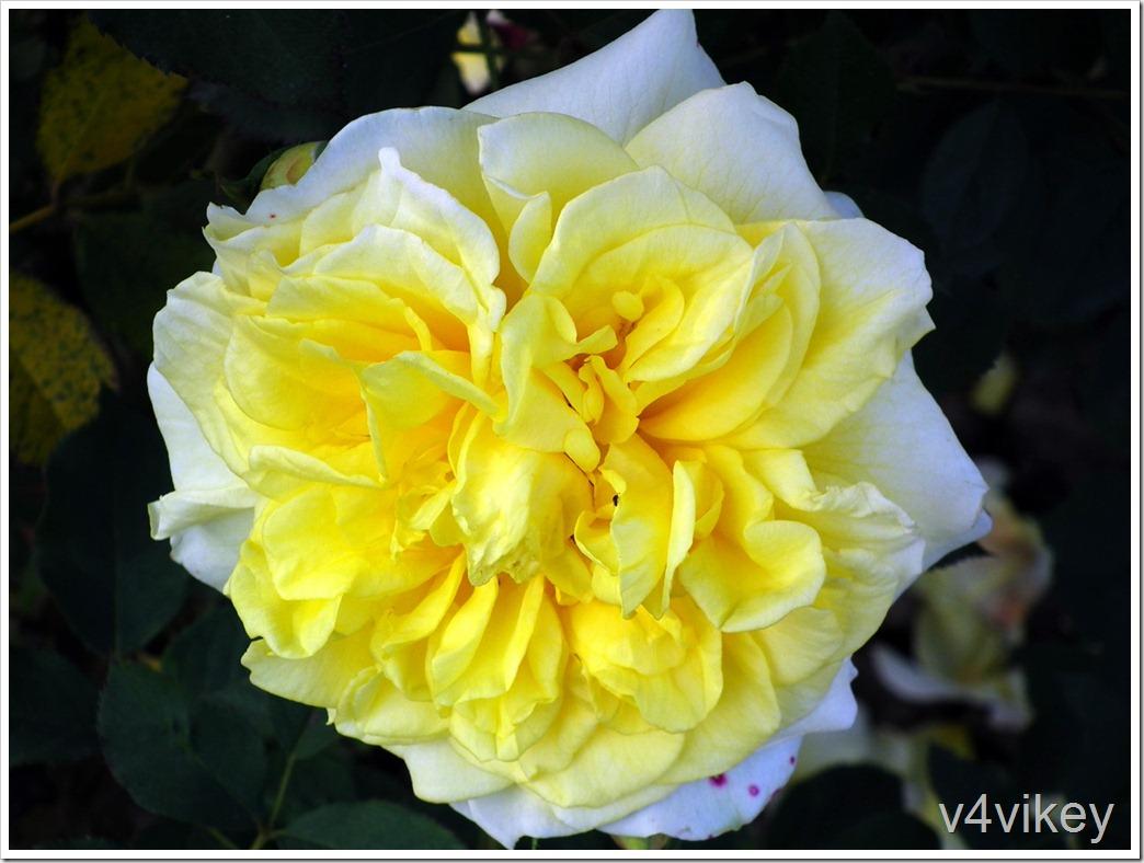 Rugosa Agnes Rose Flower