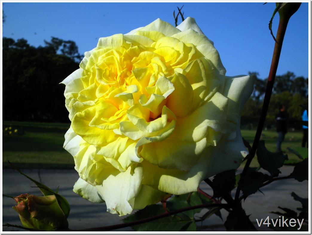The Pilgrim Rose Flower