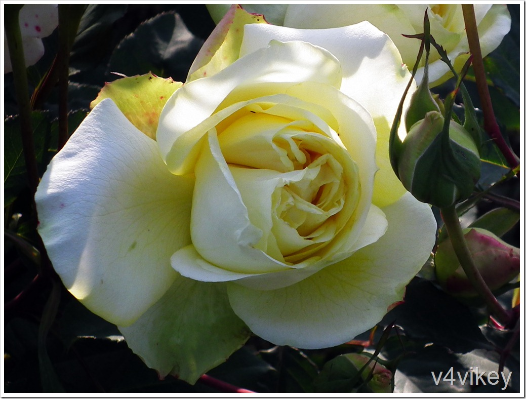 Leverkusen Rose Flower