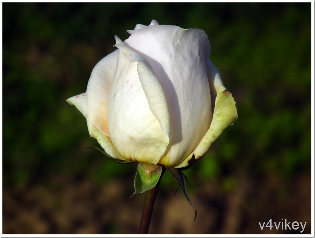 John F. Kennedy Hybrid Tea Rose Bud