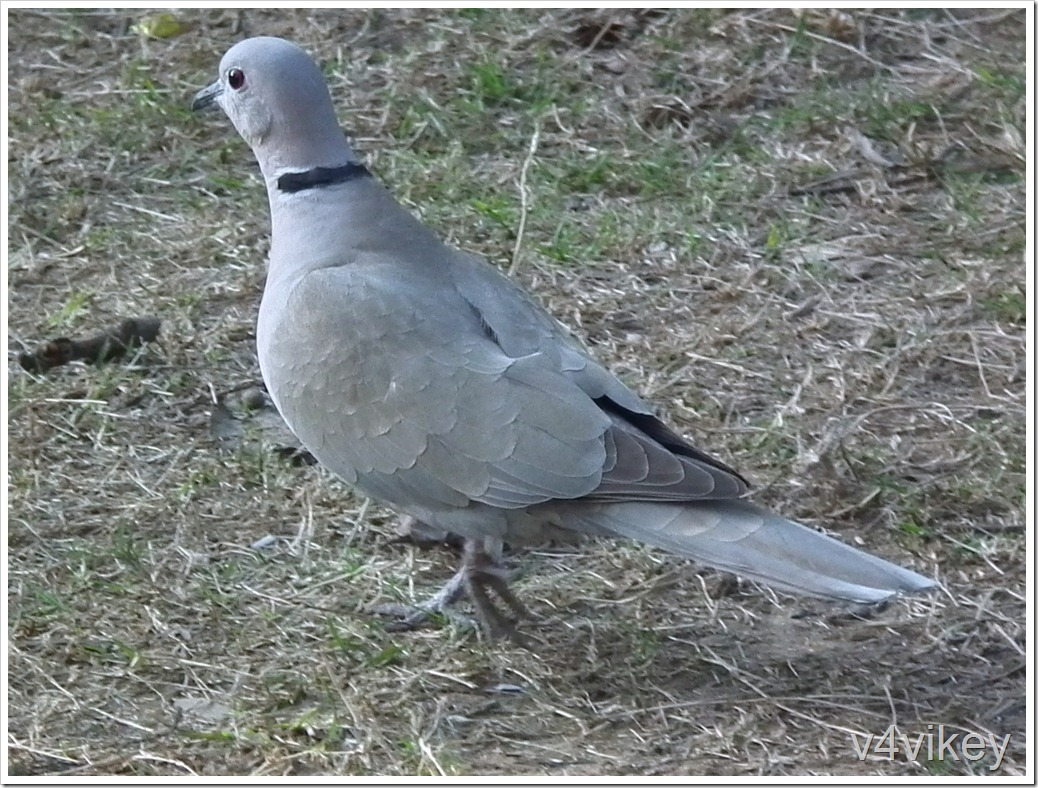 The African Collared Dove