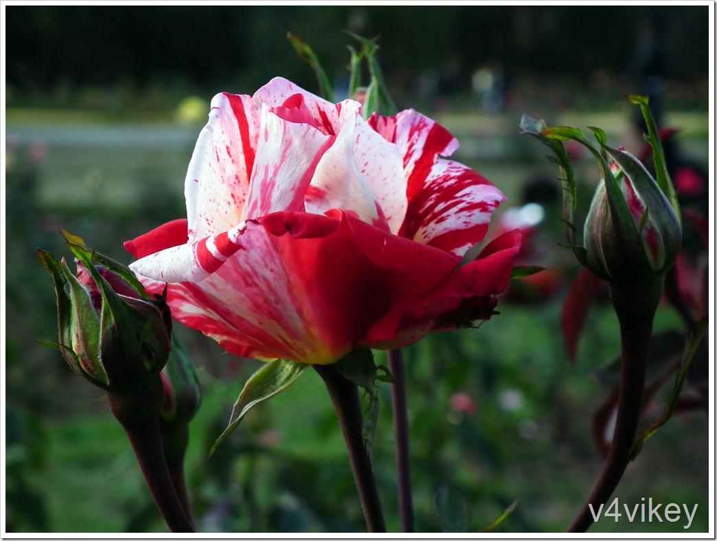 Beautiful Scentimental Rose
