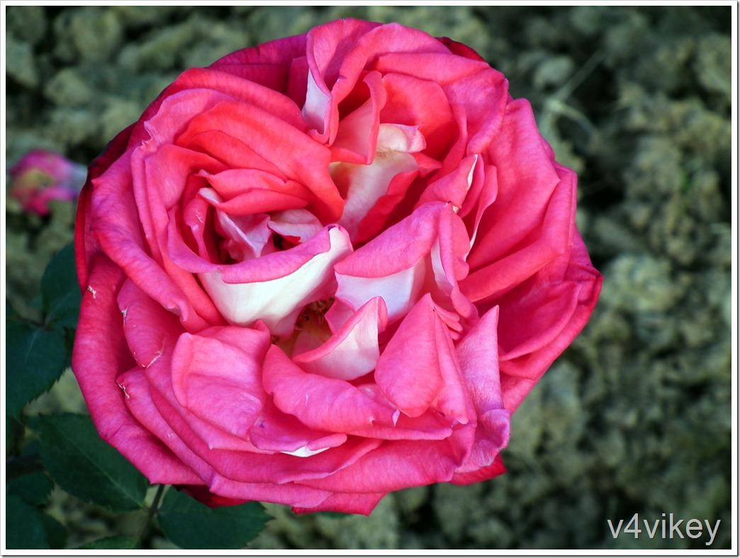 Belle de Crecy Rose flower