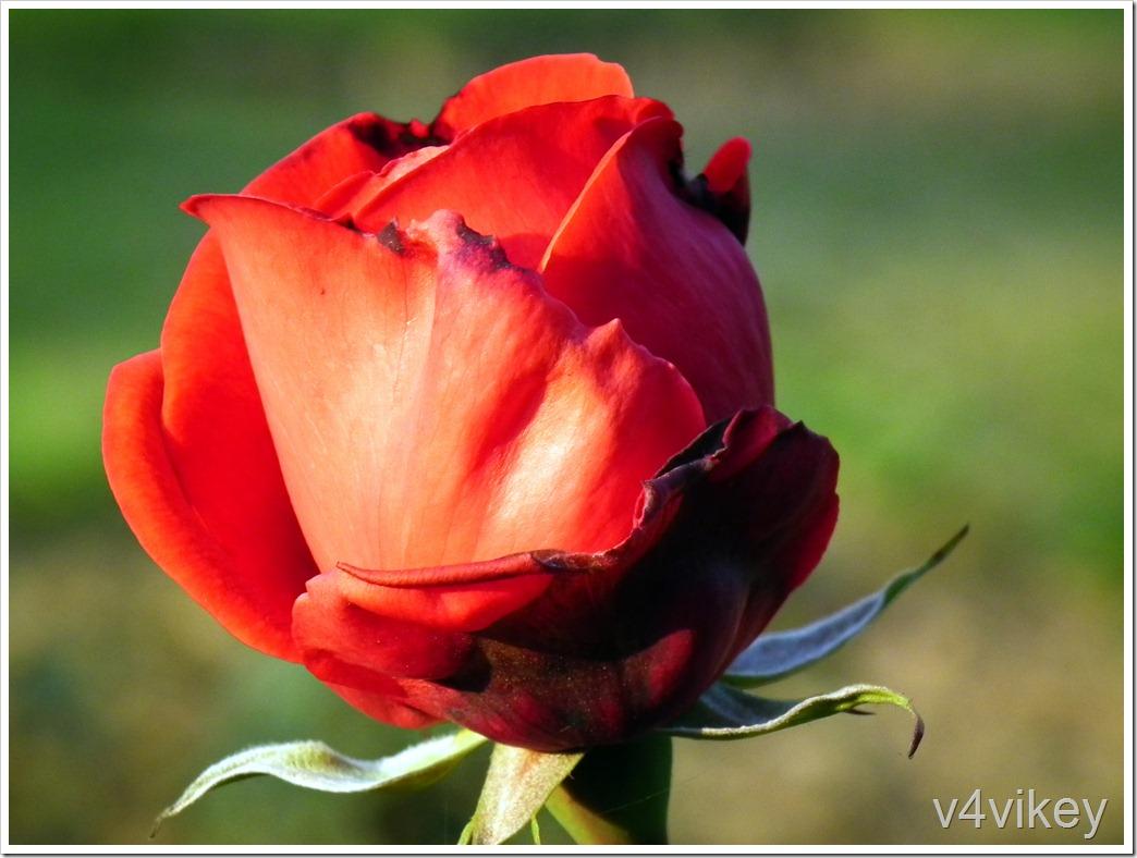 Ray of Hope Floribunda Rose