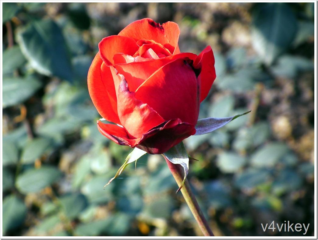 Cleopatra rose flower