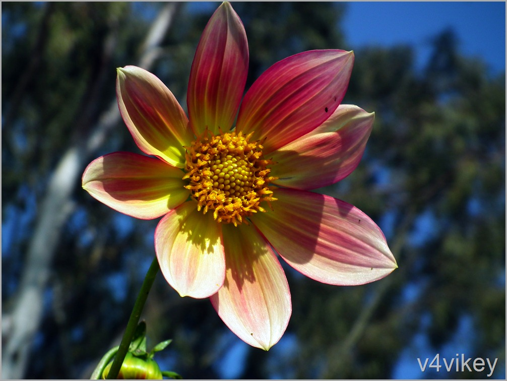 Beautiful Peach Dahlia