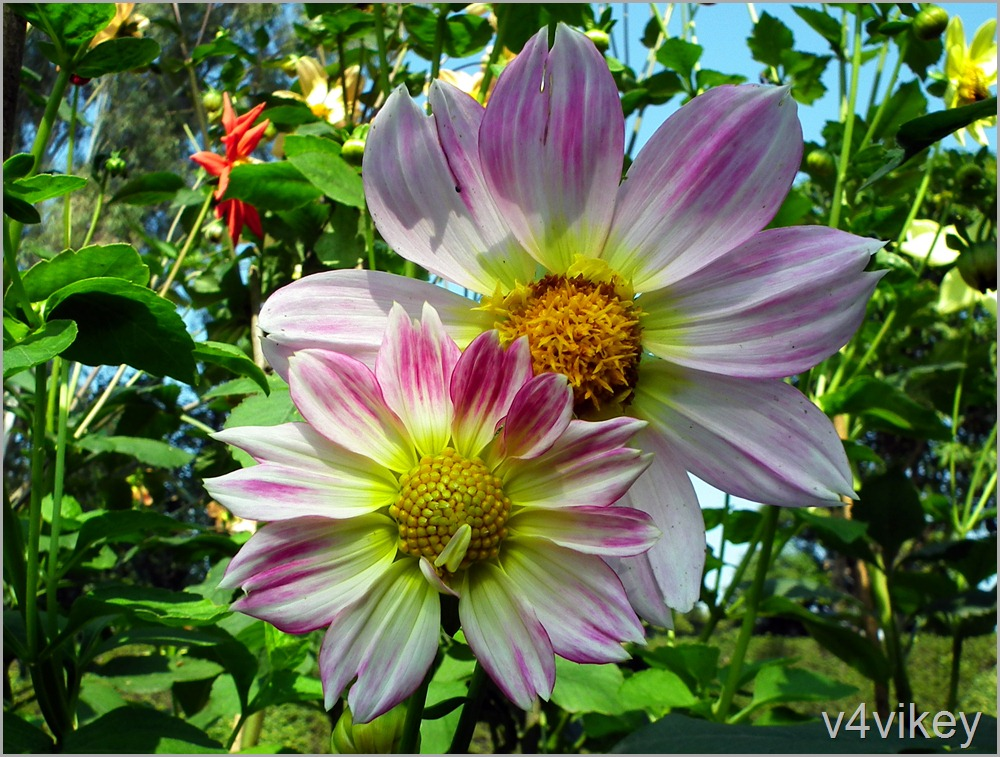 Bi-color Dahlia