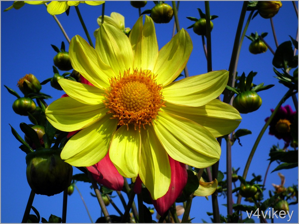 Bright Yellow Dahlia