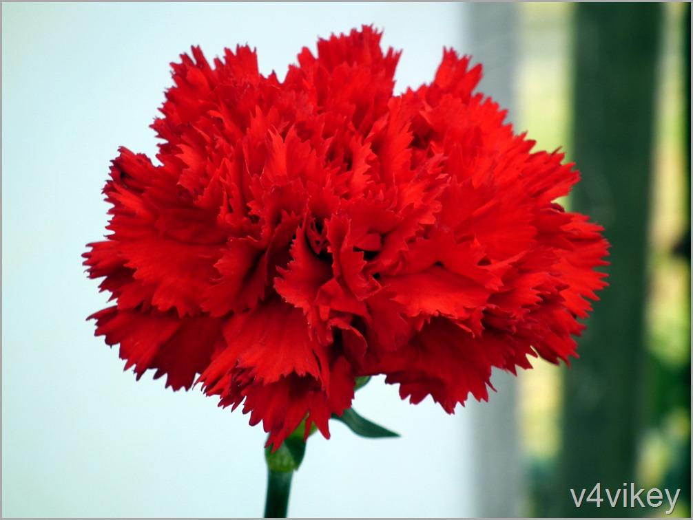 Red Carnation Flower HD Wallpaper