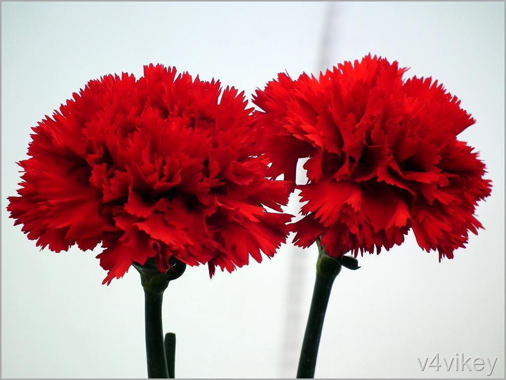 Dark Red Carnation Flowers