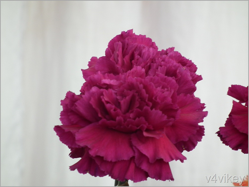 Magenta Carnation Flower