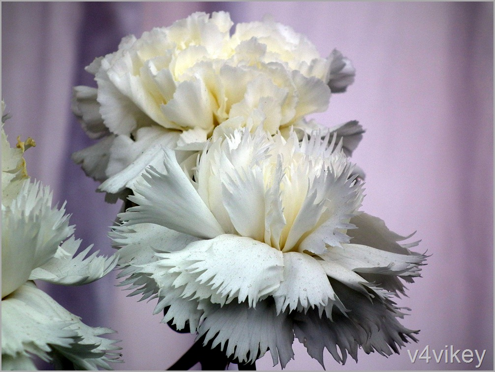 White Color Carnation Flowers
