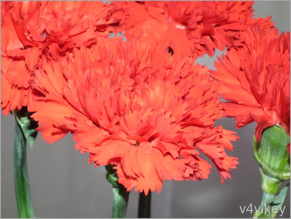 Orange Carnation Flower Wallpaper