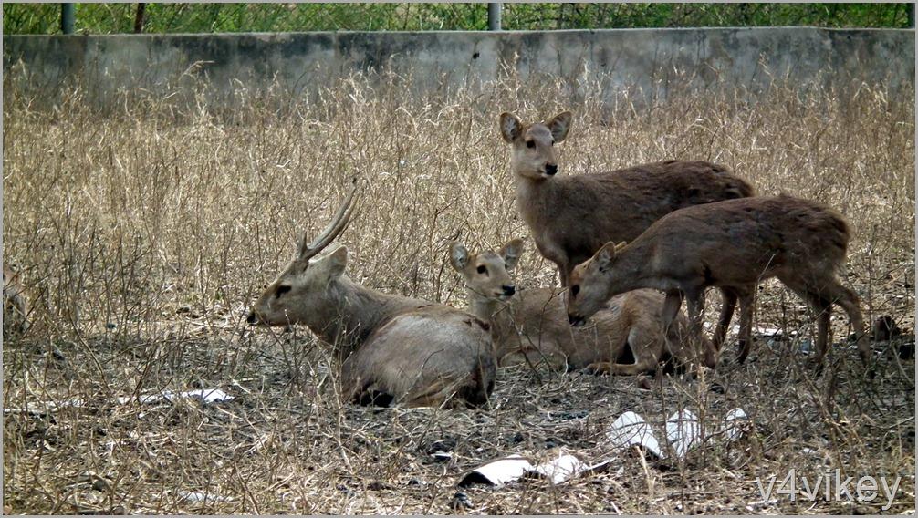 Pictures of Deer (4)
