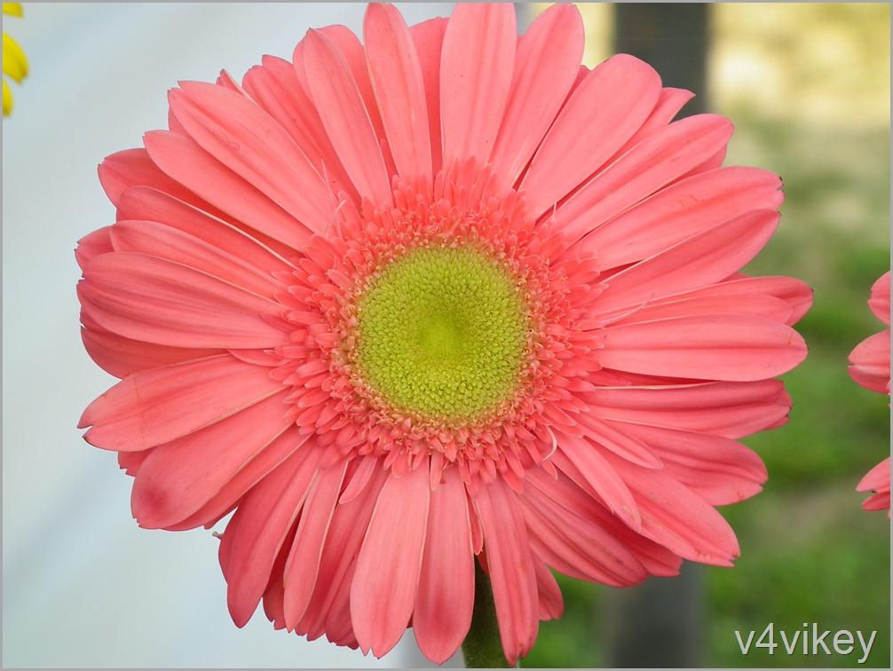 Peach Color Daisy