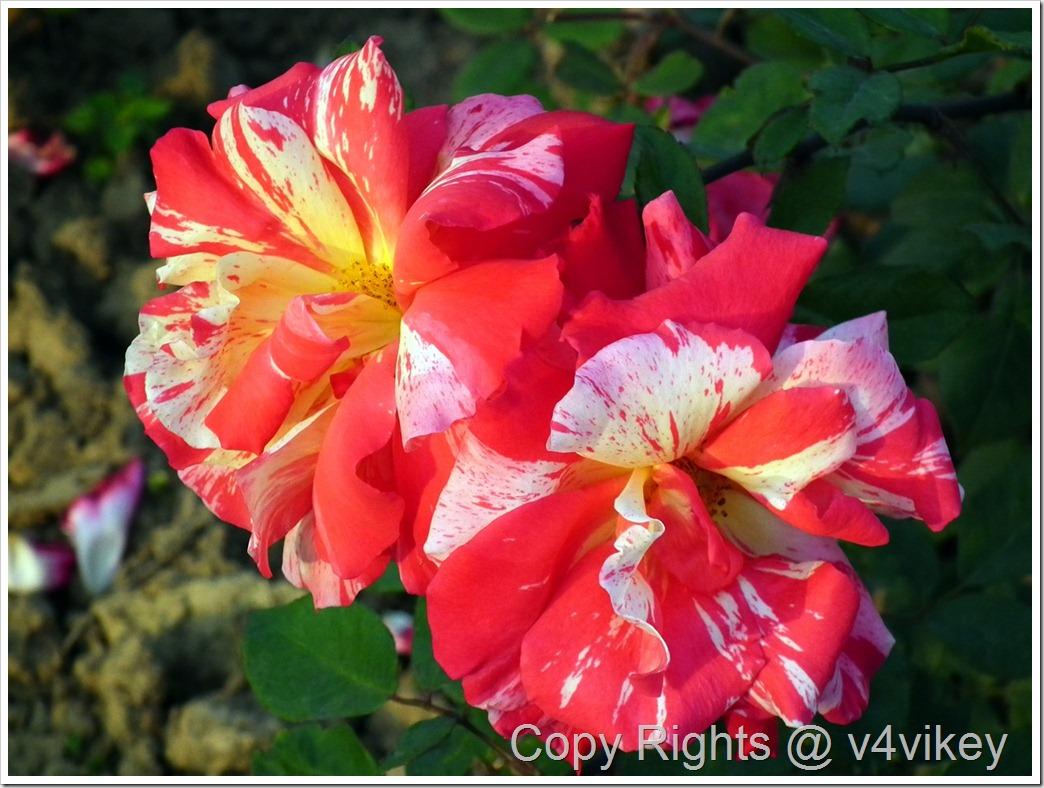 All American Magic Roses