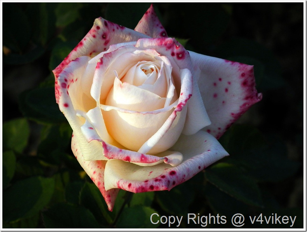 White Hybrid Rose with Pink Spots