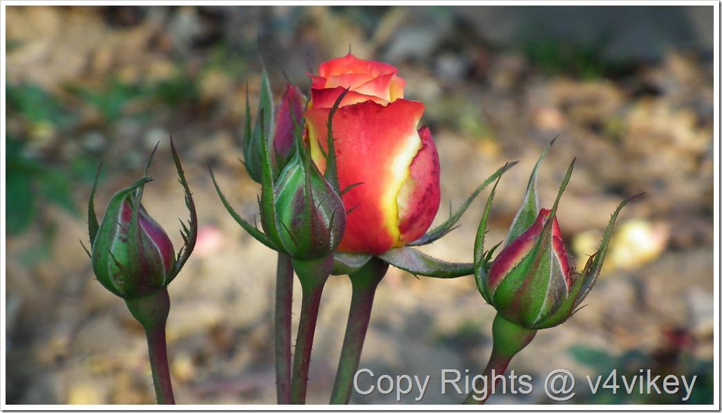 Rio Samba Bicolor Hybrid Tea Rose